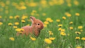 hare : red rabbit sitting among dandelion flower Stock Footage