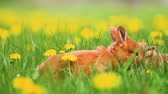 lebre : Red rabbits gallop among yellow dandelions