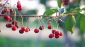 coffee cherries : red ripe cherries sway in the wind