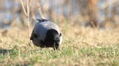 cornix : gray crow looking for something in the green grass