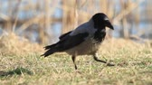 cornix : hooded crow looking for something in the green grass Stock Footage