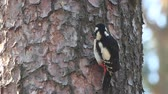 生意気な : woodpecker hammering the bark and climbing up the tree