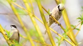 sikorka : bird (Eurasian penduline tit) collects material for the nest Wideo