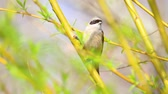 sikorka : Eurasian penduline tit among spring greens on a tree