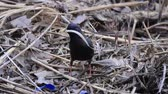 ornitoloji : starling gathers material for the nest Stok Video