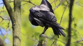 crow on a tree cleans feathers after bathing