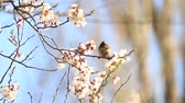 sparrow on a branch with cherry flowers