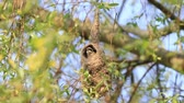 sikorka : bird makes an unusual nest Wideo