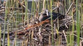 lodi : coot repairing nest sitting on eggs