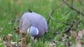 pigeon nest : wood pigeon seeks food in the grass