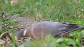wood pigeons feed on the spring forest glade