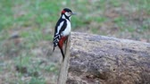 timid : woodpecker on stump looking for insects for breakfast