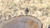 saturated : beautiful bird bluethroat sings a spring song sitting on a stump Stock Footage