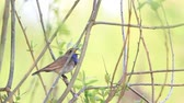 dziecko jedzenie : Bluethroat singing song spring sitting in the bush
