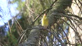 feeder : greenfinch sings sitting on a spruce branch Stock Footage