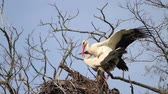 ornitoloji : storks mate on their nest