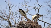 gólya : storks repair old nest