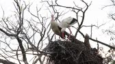 cegonha : storks repairing a nest shattered by the wind