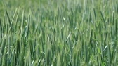 agronomia : green wheat field swaying in the wind