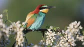 poleiro : bee-eater on an acacia branch in white flowers looking around
