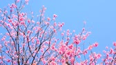 abstrakcja : Cherry blossom or sakura with blue sky background.