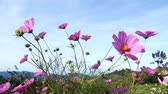 4K Shot of Pink cosmos field in breeze, Chiang Mai, Thailand. Stock Footage