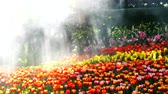 4k, Tulips flowers in a garden with sun light and water spray Stock Footage