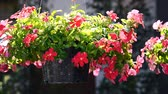 Vinca Flowers Hanging Pot Plant Stock Footage