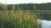reed : tranquil lake in the evening Stock Footage