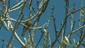 turtledove : turtledove with olive tree Stock Footage