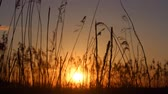 the sun sets behind the reeds