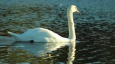 White Swan swimming leisurely on the lake