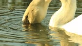 White Swan gets food under water Stok Video