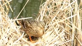 The duck nests in the reeds
