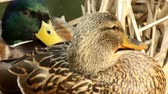 A couple of ducks rest on their nest Stok Video