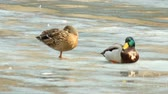 Couple of ducks stands on the melting ice of the lake