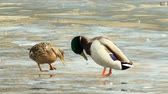 Duck and drake met on the ice of the lake