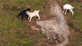 Three goats bump on the slope