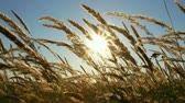 wind : dry grass in a field at sunset Stock Footage