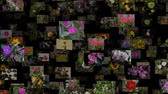 szafran : Photo stream of flowers moving LEFT, seamless loop
