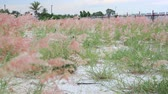 tallo : Melinis repens grass flowers
