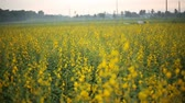 ailelerin : Fields Crotalaria in Rayong ,Thailand