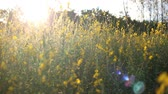 家族 : Fields Crotalaria in Rayong ,Thailand