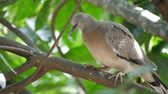 turtledove : Dove on tree cleaning feather.