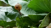 elastin : Small snail crawl on vegetable leaves in the  rain drop time.