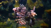 ploutve : Lion fish in aquarium