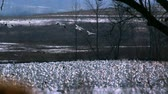 grup : snow geese flying over grounded flock Stok Video