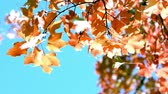 основной момент : fall leaves against blazing blue sky