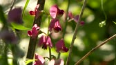 живой : 4K TV Demo - Perennial Pea (Lathyrus Latifolius) beautiful pink flower in the sun with ant walking on the petals
