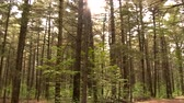 живой : 4K UHD - Pan right to left of pine and leaves forest with sun shinning through Стоковые видеозаписи